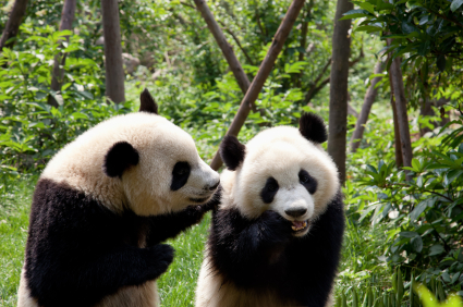China's Great Pandas