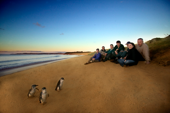 Penguin Parade on Phillip Island Australia