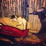 A Turkish cat preparing to drive a scooter