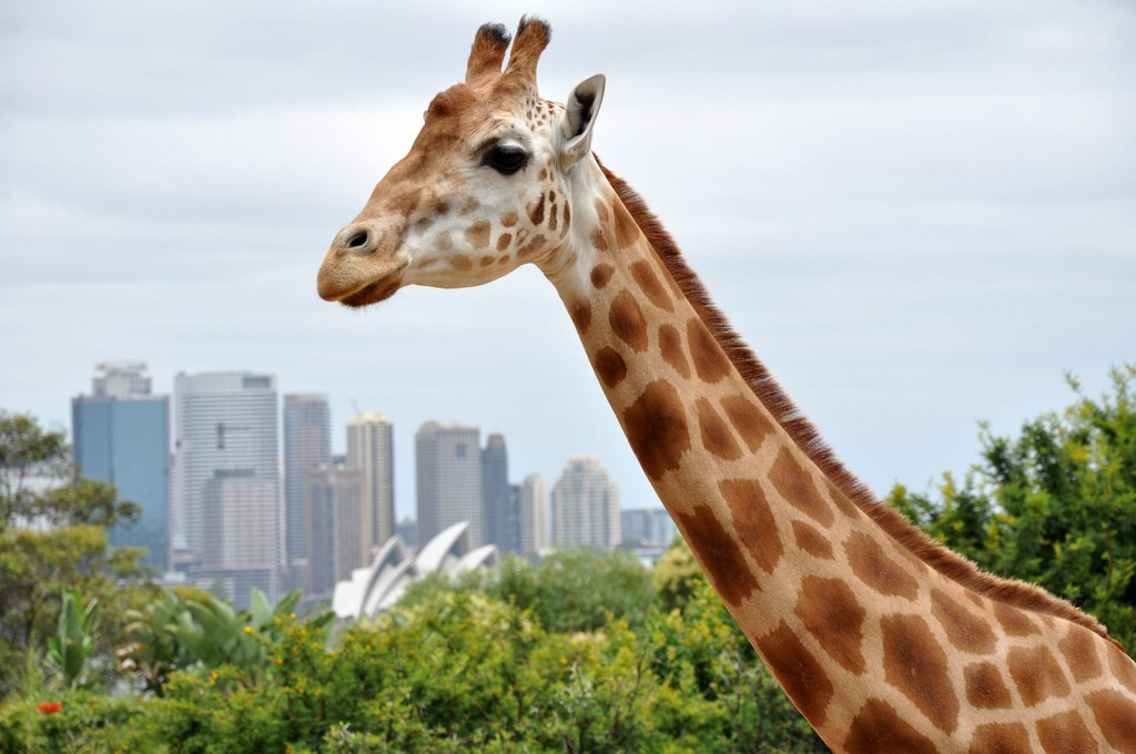Giraffe at the Taronga Zoo | Credit: Tom Reynolds