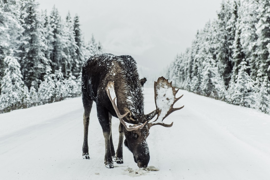 Moose in snow-covered Jasper